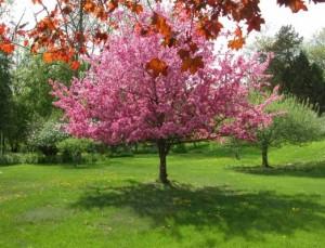 Apple Tree in Spring