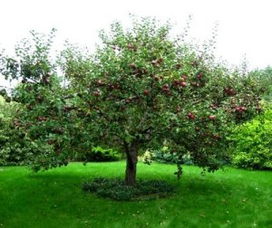 Apple Tree in Summer