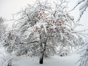 snowy_apple_tree